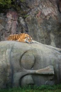 budha tiger