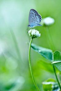 Little Blue Butterfly by chibitomu