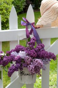 Syringa vulgaris, Common Lilac, in white bucket on white picket fence