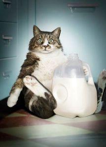 milk stealing cat