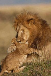 Fatherly lion hugs