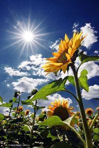 sunflower rays