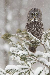 Great Grey Owl-Eastern Oregon