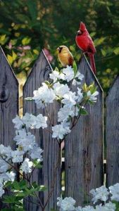 Mr & Mrs Cardinal sitting on a fence