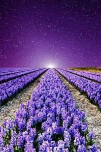Lavender Fields ---France
