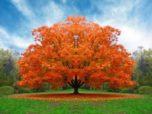 A perfectly shaped tree in the fall with golden leaves
