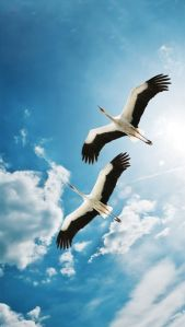 Storks in the sky - unknown photographer
