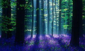 'Hallerbos' bluebell forest, Belgium