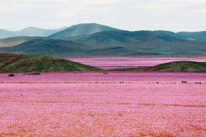 Atacama Desert Bloom