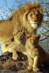 Lion and Cubs Linton Zoo by CWH