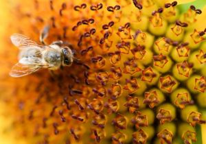 Maintal, Germany A bee on a flower- Arne Dedert-AFP-Getty Images