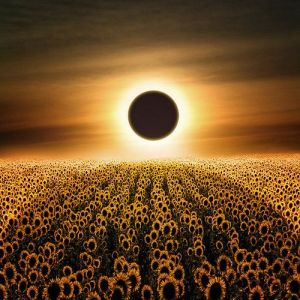 Sunflower eclipse