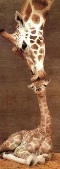 giraffe-first-kiss