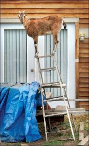 goat on a ladder