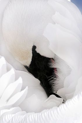 Brandon Holden Photography - Swan