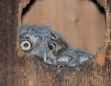 Baby Screech Owls Take a Peek