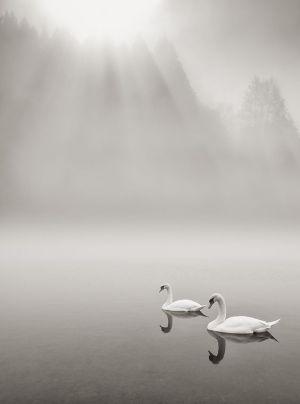 swans in mist