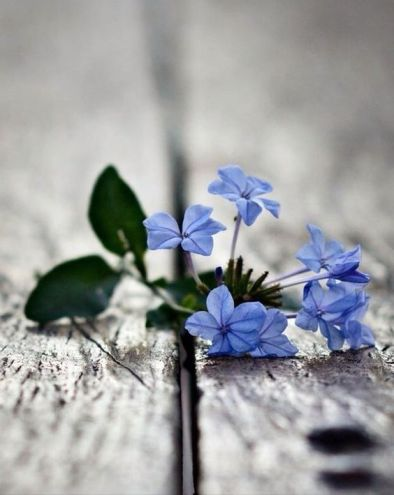 Forget me not - artist unknown