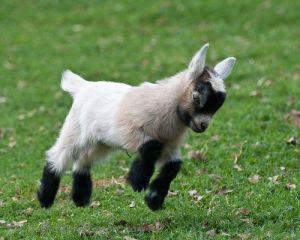 animal-baby-goat7